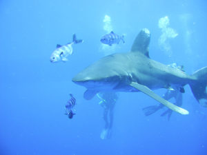 Oceanic white tip in the Red Sea